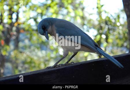 A blue bird posing on a tree - Stock Photo