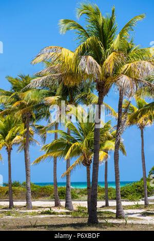 Cuba, Jardines del Rey, Cayo Guillermo, Playa El Paso, Palm trees in gardens of the Sol Guillermo hotel - Stock Photo