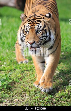 Sumatran Tiger, adult male walking portrait, Sumatra, Asia, Panthera tigris sumatrae - Stock Photo