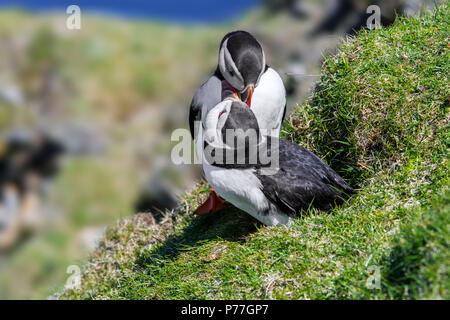 Atlantic puffins (Fratercula arctica) billing in front of burrow on sea cliff top in seabird colony, Hermaness, Unst, Shetland Islands, Scotland, UK - Stock Photo