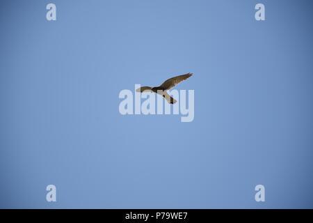 Turmfalke im Flug - Stock Photo