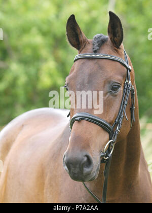 A head shot of a bay horse in a show bridle in the show ring. - Stock Photo