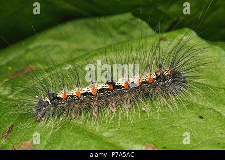 Four-spotted Footman moth caterpillar (Lithosia quadra) on dock leaf. Tipperary, Ireland - Stock Photo