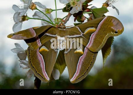 ailanthus silkmoth, male(Samia cynthia) - Stock Photo