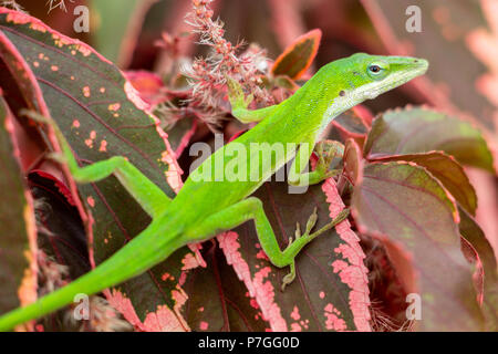 Green Carolina anole (Anolis carolinensis) closeup on red copperleaf plant leaves (Acalypha wilkesiana) - Pembroke Pines, Florida, USA - Stock Photo