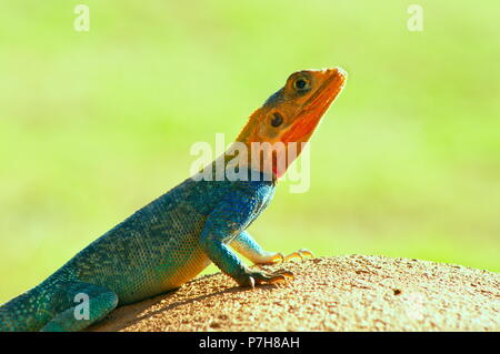 Beautiful Agama Red and blue lizard, isolated with green background on a sunny day , photo taken from Baringo lake shore, kenya, Africa - Stock Photo