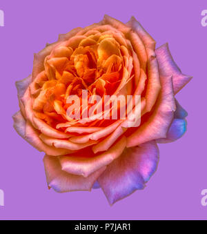 Bright colored fine art still life floral macro flower image of a single isolated orange pink violet flowering rose blossom on violet background - Stock Photo