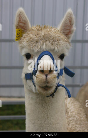 Head shot of an Alpaca, Tasmania, Australia. - Stock Photo