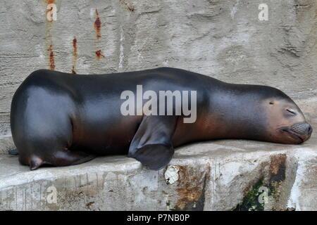 Sleepy Seal - Stock Photo