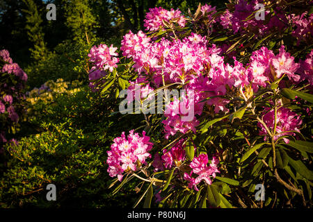 Rhododendron.Big bush of pink Rhododendron in garden.Pink with white azalea flowers. - Stock Photo