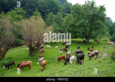 Bos, the genus of wild and domestic cattle. Cows bulls and calves. - Stock Photo