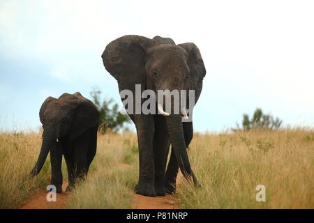 Elephant mother and calf coming towards us in Masai Mara Kenya - Stock Photo