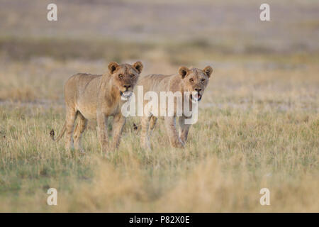 Two juvenile desert Kalahari lions patrolling the area - Stock Photo