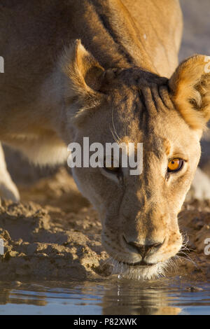 Lioness drinking water from a pond Etosha - Stock Photo