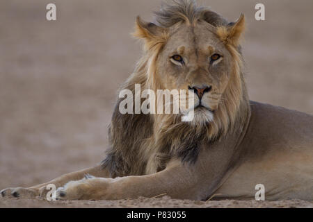 Black maned juvenile young male lion portrait in desert of Kalahari  Kgalagadi Transfortier Park wilderness - Stock Photo