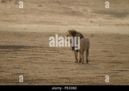 Desert lion with black mane patrolling for food Kalahari - Stock Photo