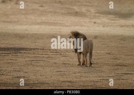Desert lion with black mane patrolling for food Kalahari - Stock Photo