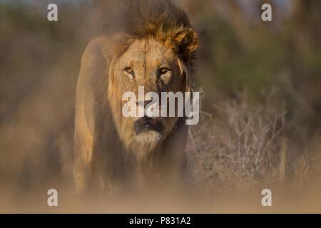 Black maned Kalahari Lion in the bush - Stock Photo