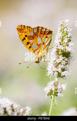 Kleine parelmoervlinder, Queen of Spain Fritillary - Stock Photo