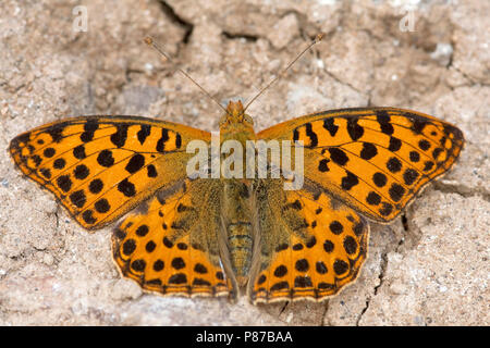 Kleine parelmoervlinder / Queen of Spain Fritillary (Issoria lathonia) - Stock Photo