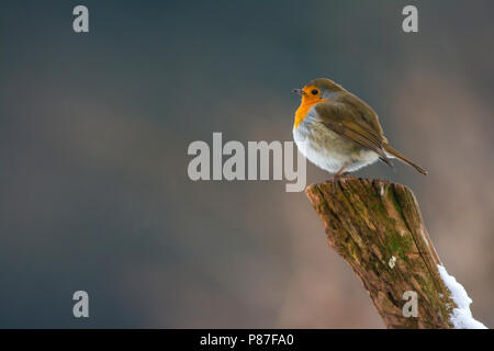 European Robin (Erithacus rubecula) sitting on a pole in the snow. - Stock Photo