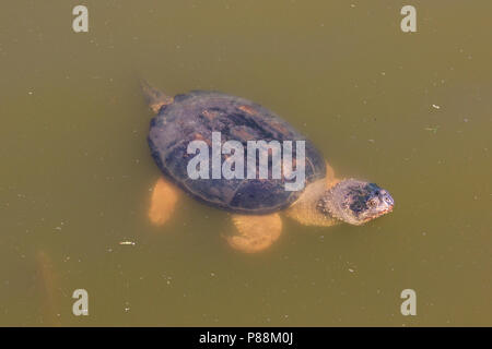 Snapping Turtle (Chelydra serpentina) in muddy water - Stock Photo