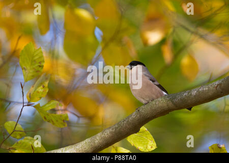 Northern Bullfinch, Pyrrhula pyrrhula pyrrhula, Germany, female adult - Stock Photo