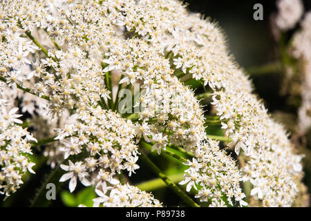 Flowers of the cow parsnip plant. - Stock Photo