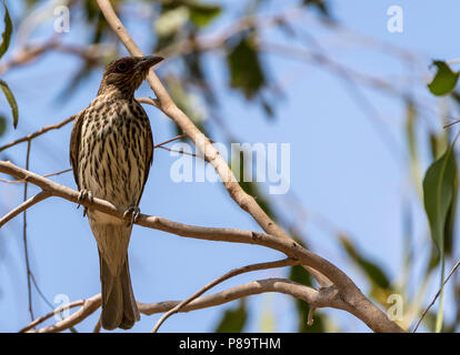 Australasian figbird, East Point, Northern Territory - Stock Photo