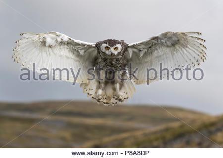 Snowy owl (Bubo scandiacus) juvenile in flight, captive, Cumbria, UK, - Stock Photo
