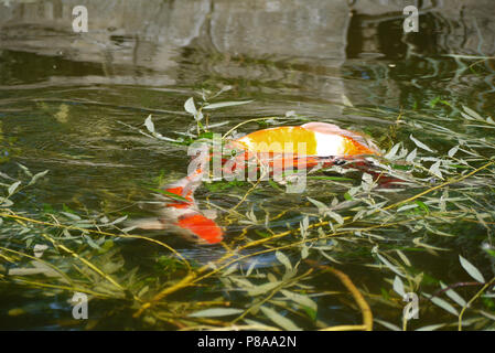 two bright goldfishes, decorative carp in green water among willow branches . For your design - Stock Photo