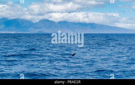Wild Hawaiian Spinner dolphin, Stenella longirostris, surfacing. West Maui Mountains in the background. - Stock Photo
