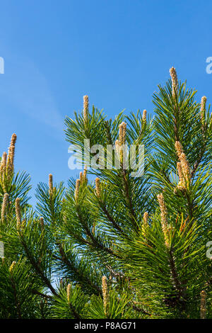 Small embryos of cones on coniferous branches in the rays of a warm summer sun . For your design - Stock Photo
