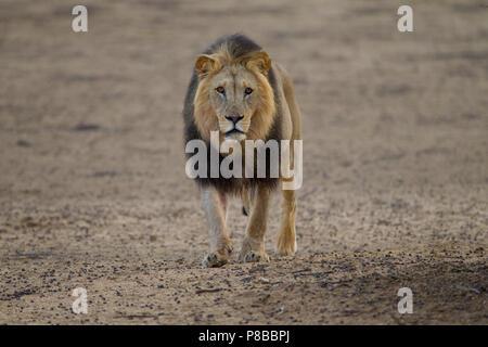 Black maned desert Kalahari lion portrait - Stock Photo