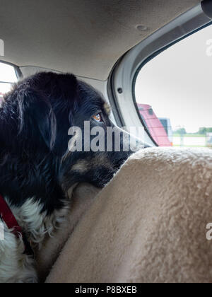 Border collie mixed-breed, black and white, looking out backseat of car. - Stock Photo