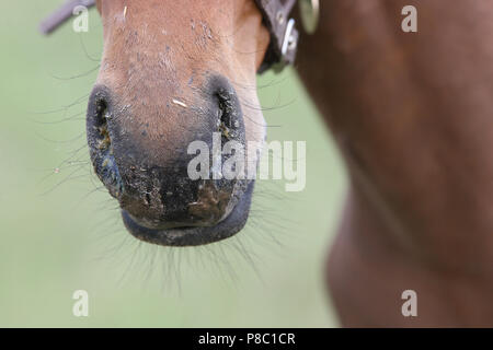 Falkensee, detail view, nasal discharge in a foal - Stock Photo
