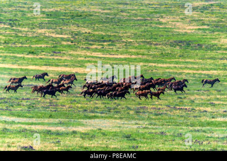 Wild horses gallopping on summer meadow - Stock Photo