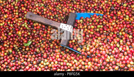 A large, blue scoop rests in the midst of a large vat of red, soaked coffee beans on the Doka Coffee Plantation, Aajuela, Costa Rica. - Stock Photo