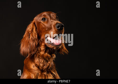 Portrait of red Irish Setter panting on black background .studio shot - Stock Photo
