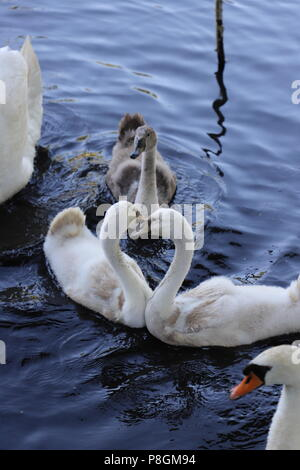 Love and Heart in the Swans of the Pond - Stock Photo