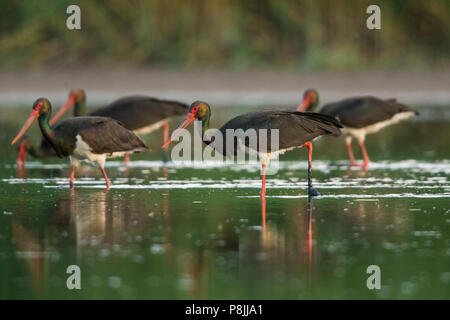 Foraging Black Storks in marsh - Stock Photo