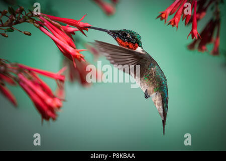 A male ruby throated hummingbird hovers while drinking nectar from red flowers in the garden. - Stock Photo