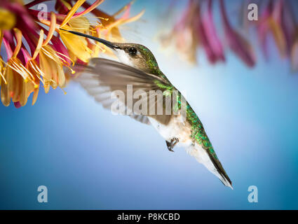 This fast moving little female ruby throated hummingbird hovers drinking nectar from honeysuckle vine. - Stock Photo
