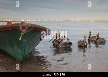 Brown pelicans on the shore of La Paz, Mexico - Stock Photo
