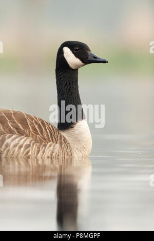 Swimming Canada goose (Branta canadensis) in early morning light - Stock Photo