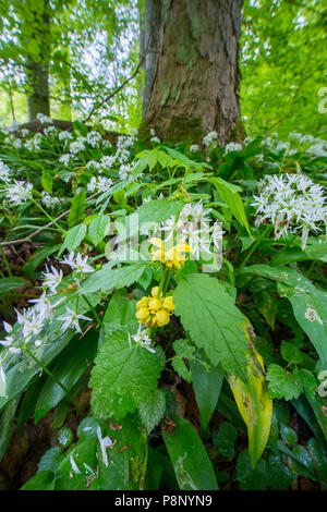 Yellow Archangel and wild garlic in a forest in spring - Stock Photo