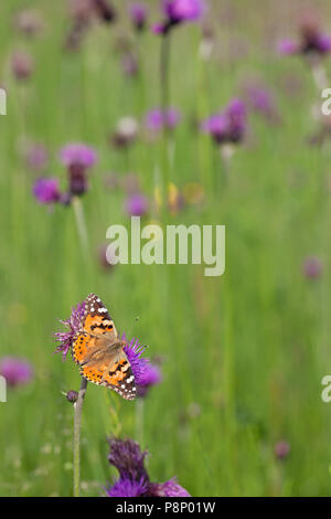 painted lady on thistle - Stock Photo