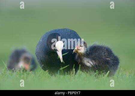 Foraging Coot on lawn - Stock Photo
