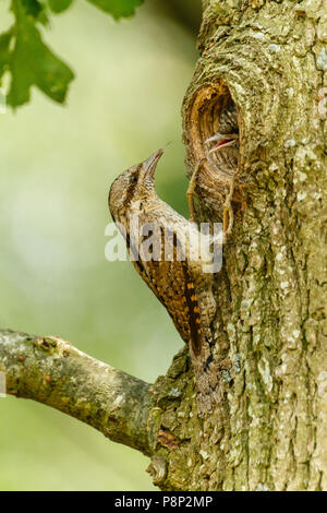 Wryneck and young at the nesthole in an oak tree - Stock Photo