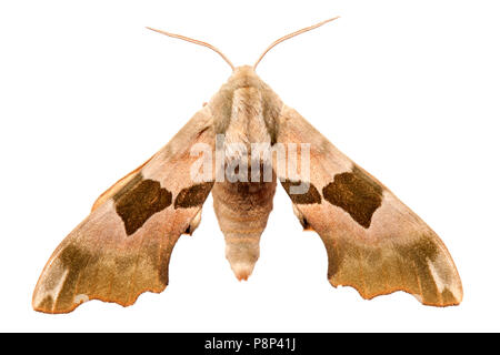 Lime Hawk-moth isolated against a white background - Stock Photo